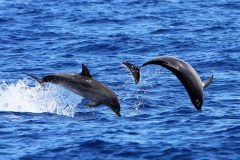 Springende Fleckendelfine