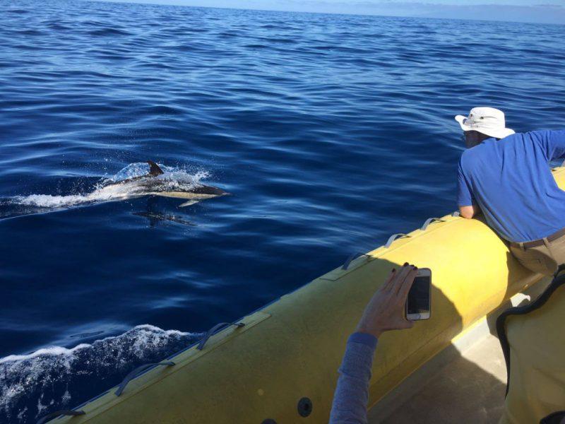 Gemeiner Delfin Speedy
