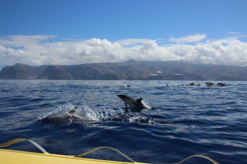 Fleckendelfine am Speedy vor Küste