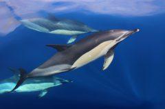 Gemeine Delfine