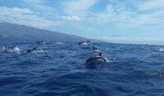 Fleckendelfine vor Südküste, mit Teide im Hintergrund