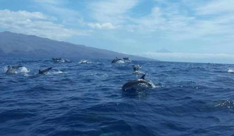 Dauphins tachetés de l'Atlantique devant la côte de sud de La Gomera,avec le de fond