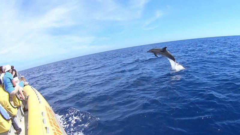 Fleckendelfin (Zügeldelfin) im Sprung am Speedy