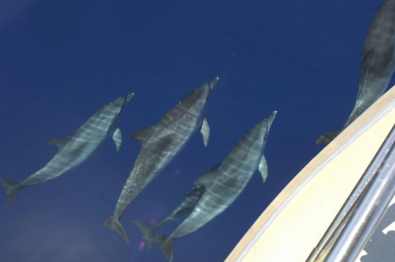 Atlantic spotted dolphins nearby the Speedy