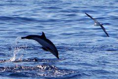 Blau Weisser Streifendelfin