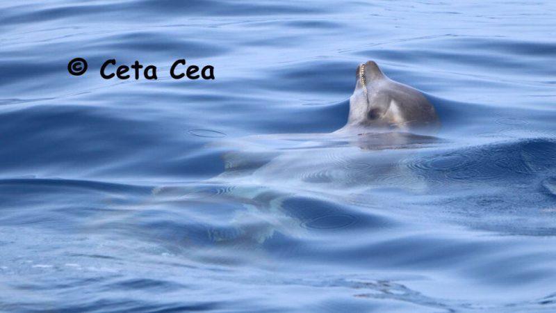Delfin de dientes rugosos