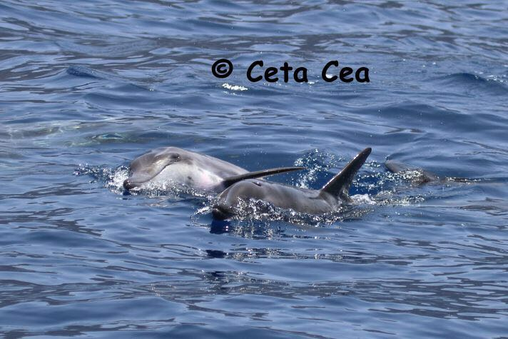 Delfines de dientes rugosos