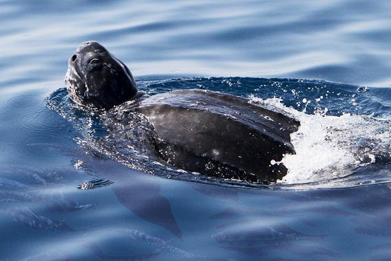 Lederschildkröte La Gomera