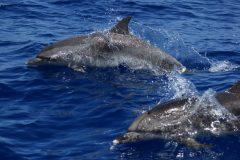 Delfines Moteados